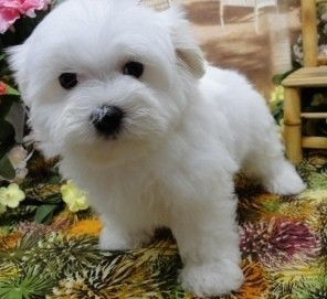 Clever Maltese Puppies for Sale