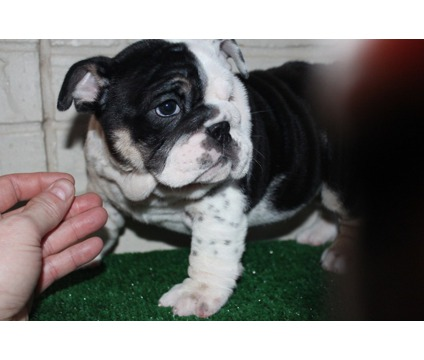 Cute English Bulldog puppies