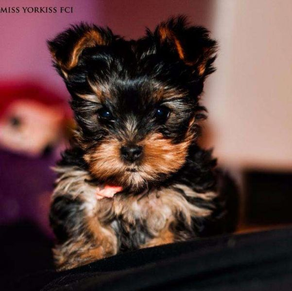 Cute Yorkie puppies for adoption Text me at + 1786-480-2944