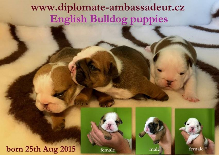 English bulldog puppies available