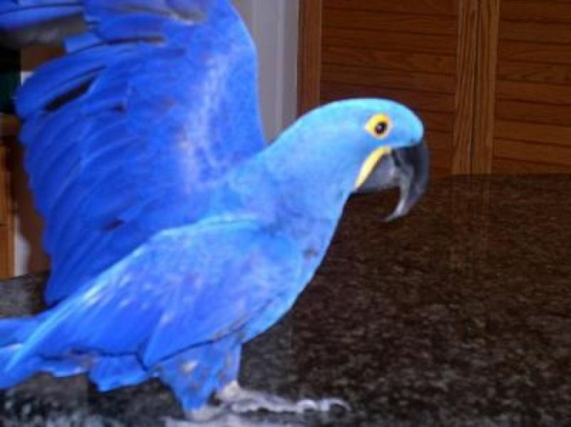 D.N.A Sexed Pair of Related Hyacinth Macaws