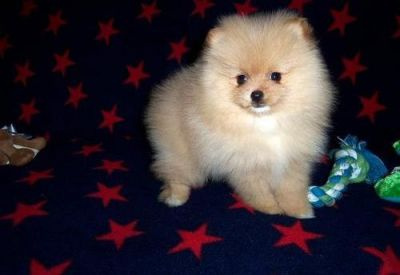 Adorable Alyssa is a white and chocolate Pomeranian puppies,