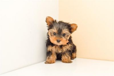 City champion yorkie puppies for homes