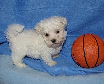 6 Cute Teacup maltese puppies for sale