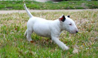 Super miniature male and female bull terrier puppies available to pet lovers text me at (409) 292-92