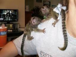 Pygmy marmoset Capuchin monkeys  they are vaccinated, obedient,