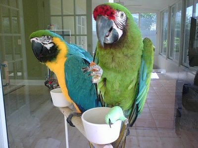 Blue and Gold Macaw 2 year old Male and female