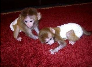 Pygmy marmoset Capuchin monkeys for sale