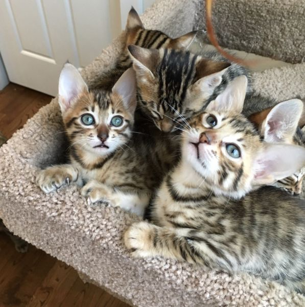 Exotic Savannah kittens available for sale !!!!!!!!