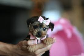 Pure/Mixed Breed Yorkie Puppies..