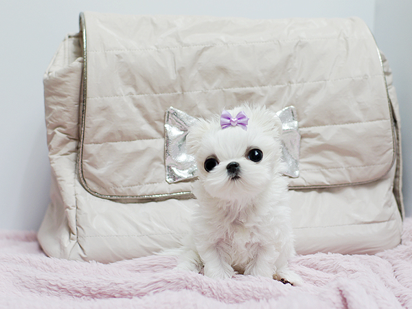 Microchip Tiny Teacup  Maltese  for sale
