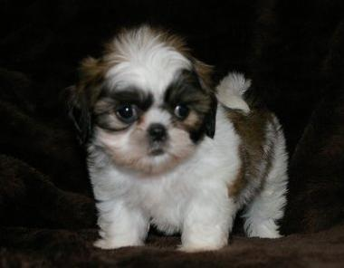 Playful Shih Tzu Puppies For Sale