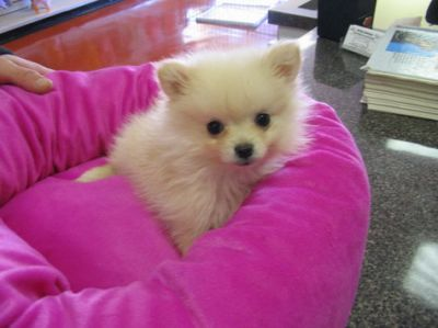Super cute baby pomeranian puppies for adoption