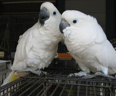 Cute umbrella cockatoo parrots for sale