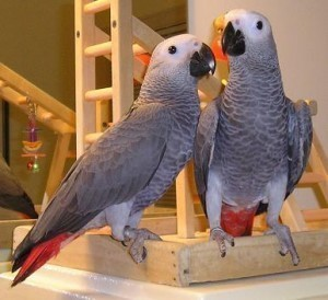Lovely African Grey parrots for adoption