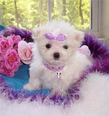 Purebred Teacup Maltese Puppies