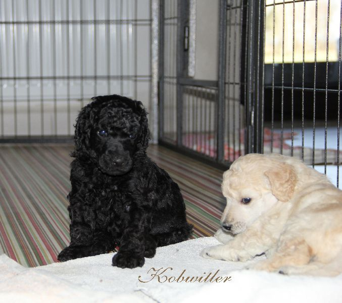 Standard Poodle Luxury Puppies with Pedigree