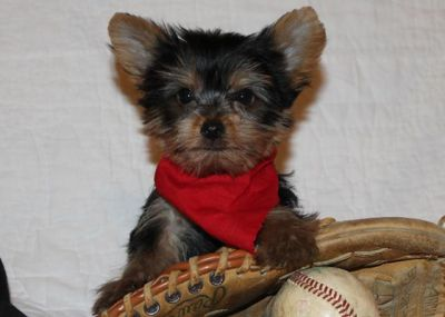 Lovely Teacup Yorkies for Sale