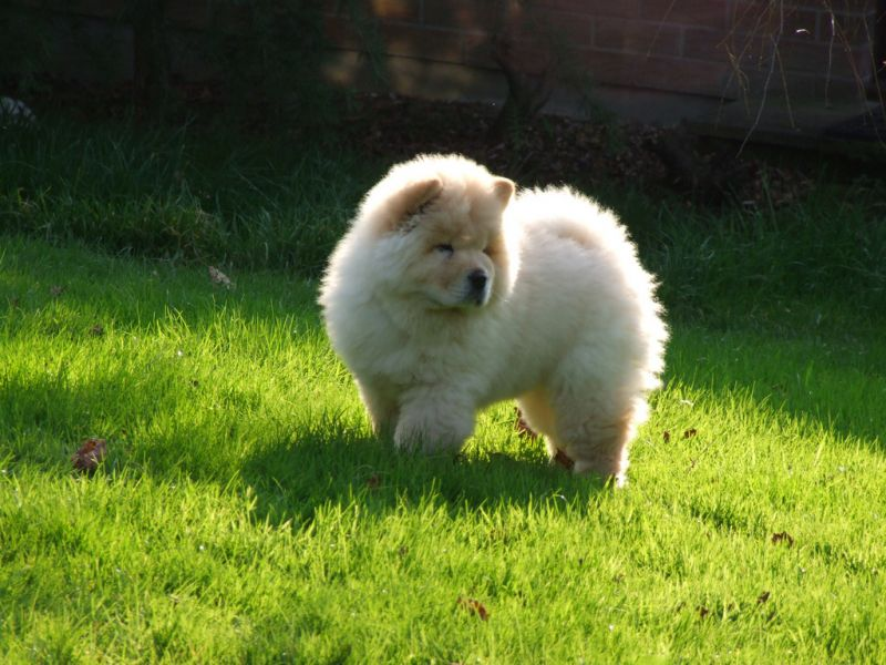 frosty' is an adorable purebred ckc reg. cream male chow chow pup