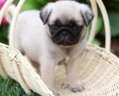Well Trained Purebreed pug puppies available at very affordable prices