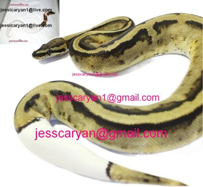 cute and adorable male and female king-snake Ball ,Piebald and Albino pythons for adoption