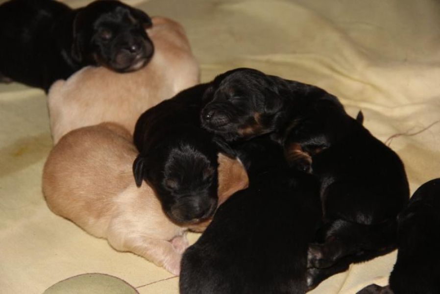 Hovawart puppies with pedigree