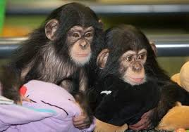 Re-Homing Chimpanzee babies for sale