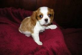 King Charles Spaniel for sale