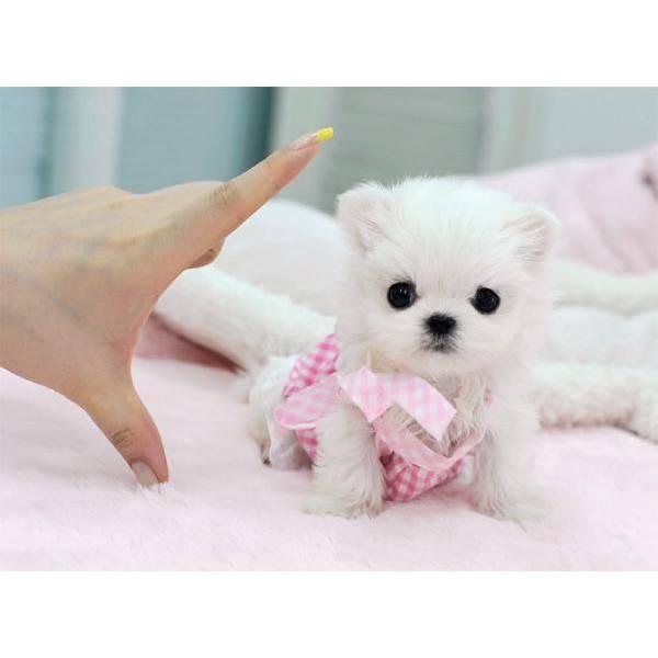Tiny Teacup Maltese Ready For Sale