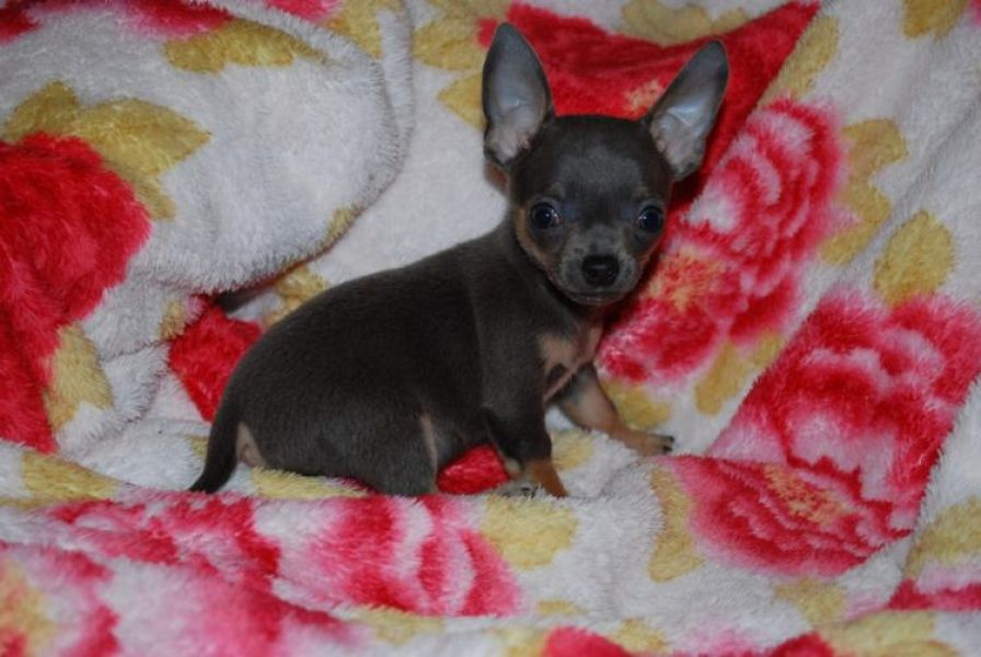 Luxury MINI! Toy Chihuahua Puppies rare color Leopard