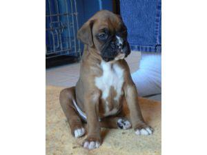 Male And Female Boxer Puppies for sale