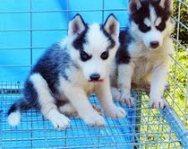 Siberian Husky Puppies for adoption