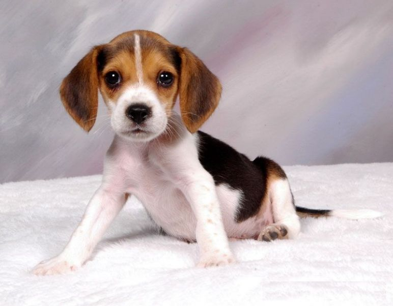 Sweet Beagle Puppy for adoption