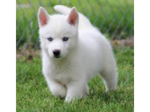 Blue Eyes Siberian Husky Puppies Looking For A New Home
