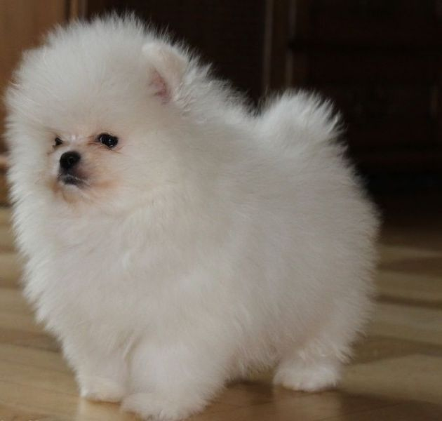 Stunning Luxury Tiny Pomeranians Puppies Ready