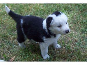 Perfect Border Collie Puppies for sale