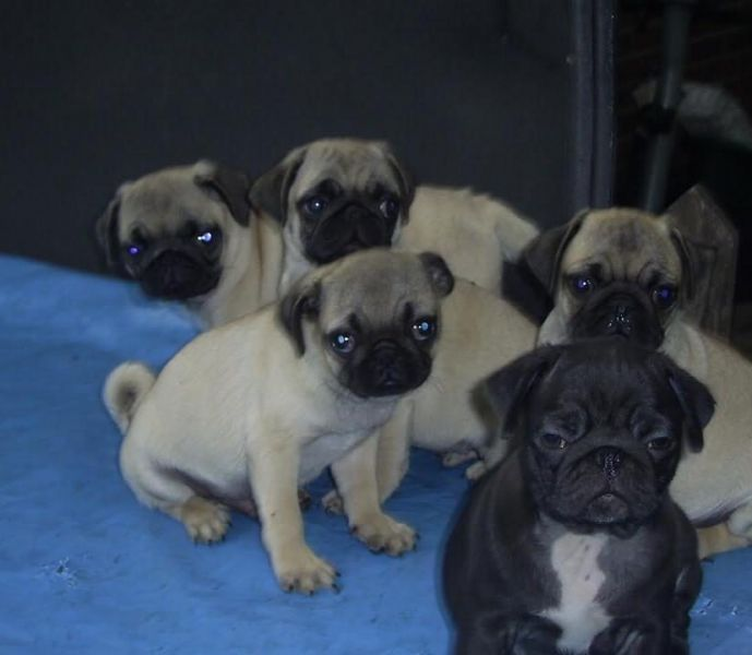 Pug puppies looking a new home.