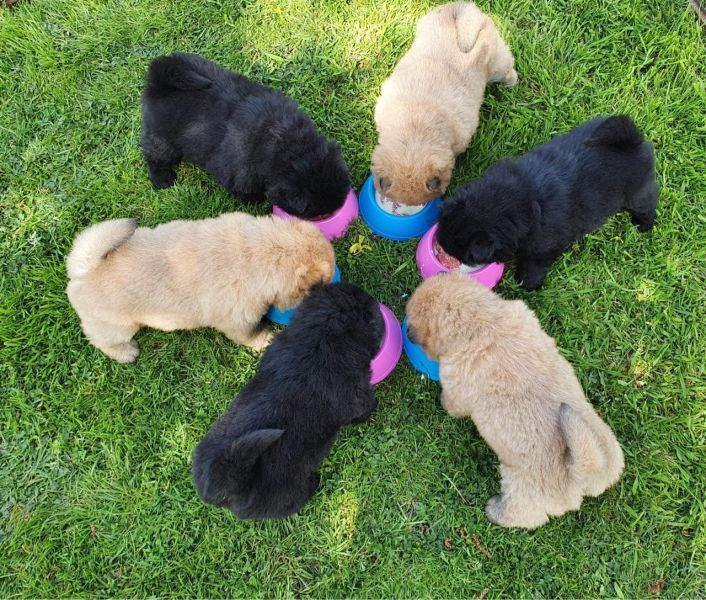 Chow Chow Pups 2 Black Boys Available
