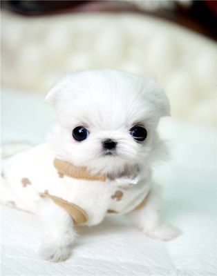 micro teacup maltese puppies for sale supper tiny teacup maltese puppies for sale 8373