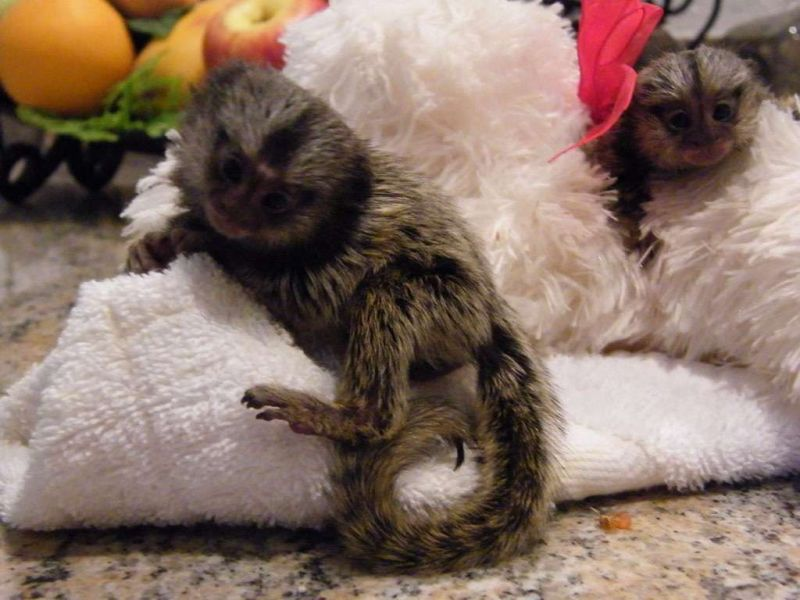 Our baby monkeys are home raised, babies are diaper trained