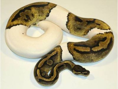 cute and Adorable piebald,albino and ball pythons now available For Adoption