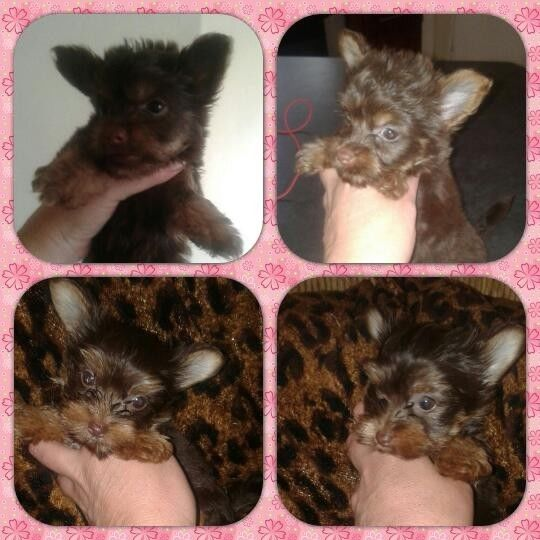 2 YORKIE PUPPIES AVAILABLE FOR SALE...Email or text.7707568621