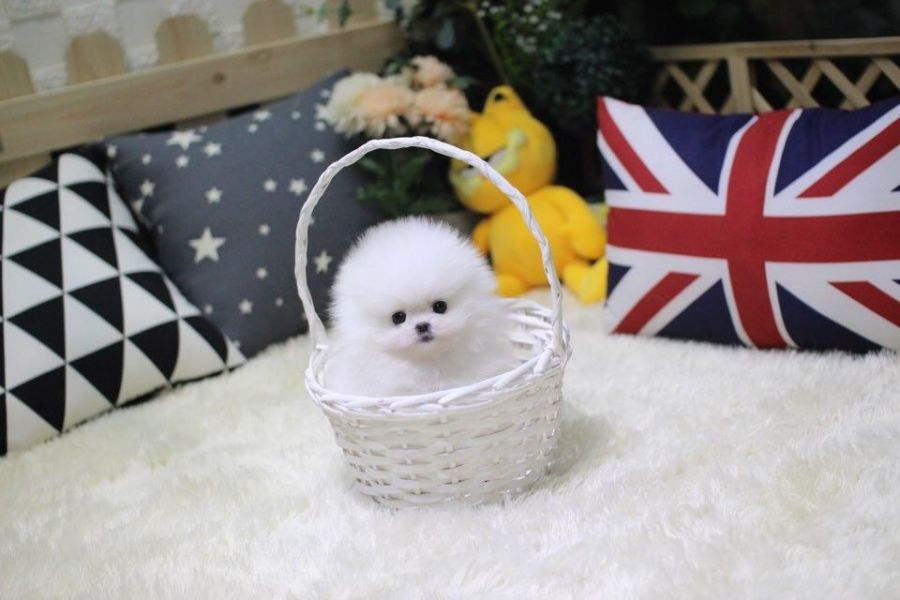 Teacup Pomeranian Puppies ready