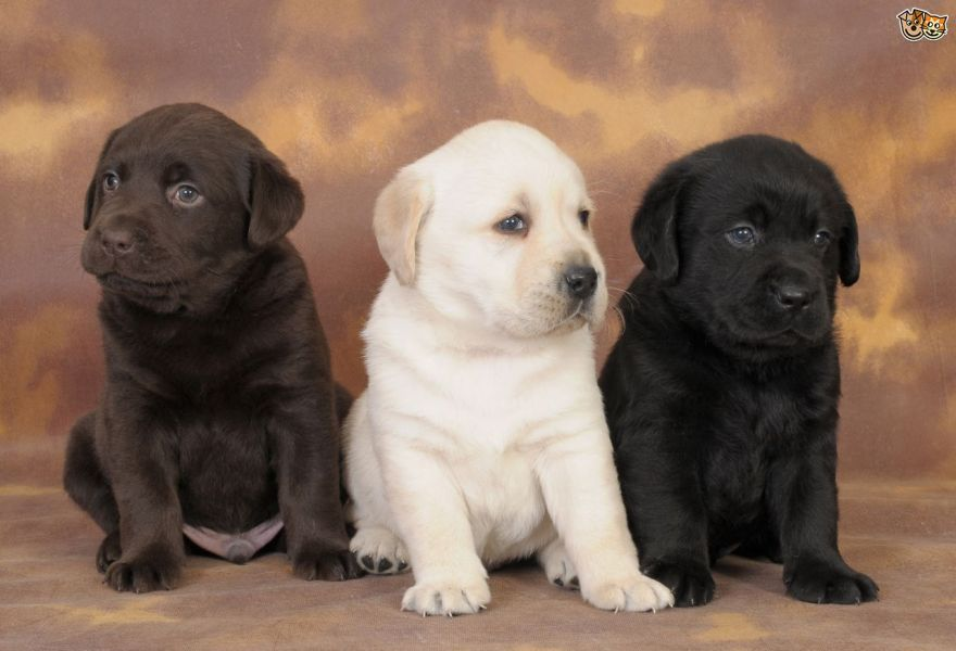 Beautifull Labrador Puppies