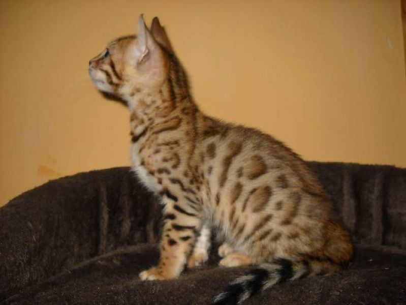 Bengal kittens with pedigree