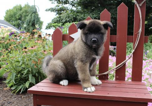 Stunning looking Akita puppies for sale