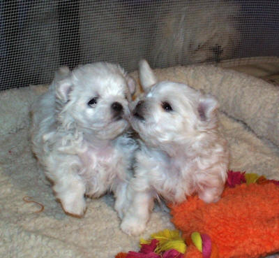 Teacup maltese puppies for sale KC registered