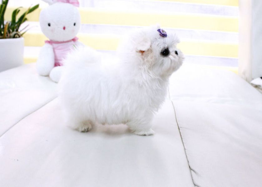 Excellent teacup maltese