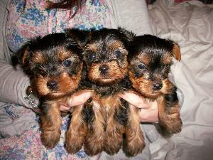 2 tea cup yorkie puppies for free adoption.....