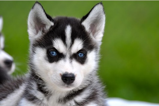 Siberian Husky puppies for free home.